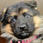 6b. Pink collar female pup - 5 wks old Ava