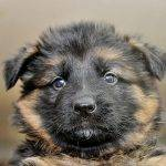 7. . Blk camo male pup - 5 wks old Aslan