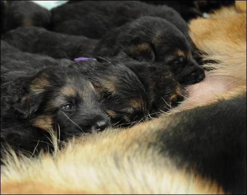 3 week old Gorbi x Allie pups