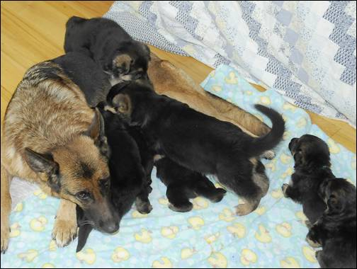 """Funny feeding some of Allie's pups and her two """"C"""" pups--the giant ones."""