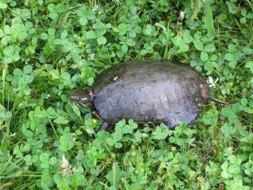 Luckily it was a painted and not snapping turtle