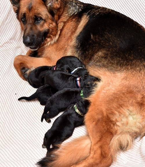 1-22-18 Yoyo with 3 day old pups (1)