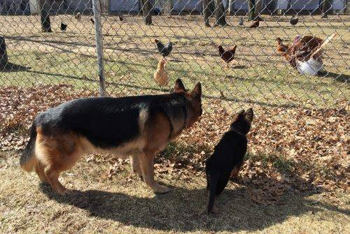 3-16-18 Aiden and Connor watching the chickens